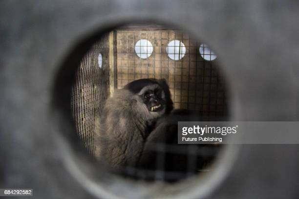 Javan Gibbon 'Owa Jawa' seen after release at Tilu Mountain on May 17 2017 in West Java Indonesia Owa Jawa are endemic animals of West Java Based on...