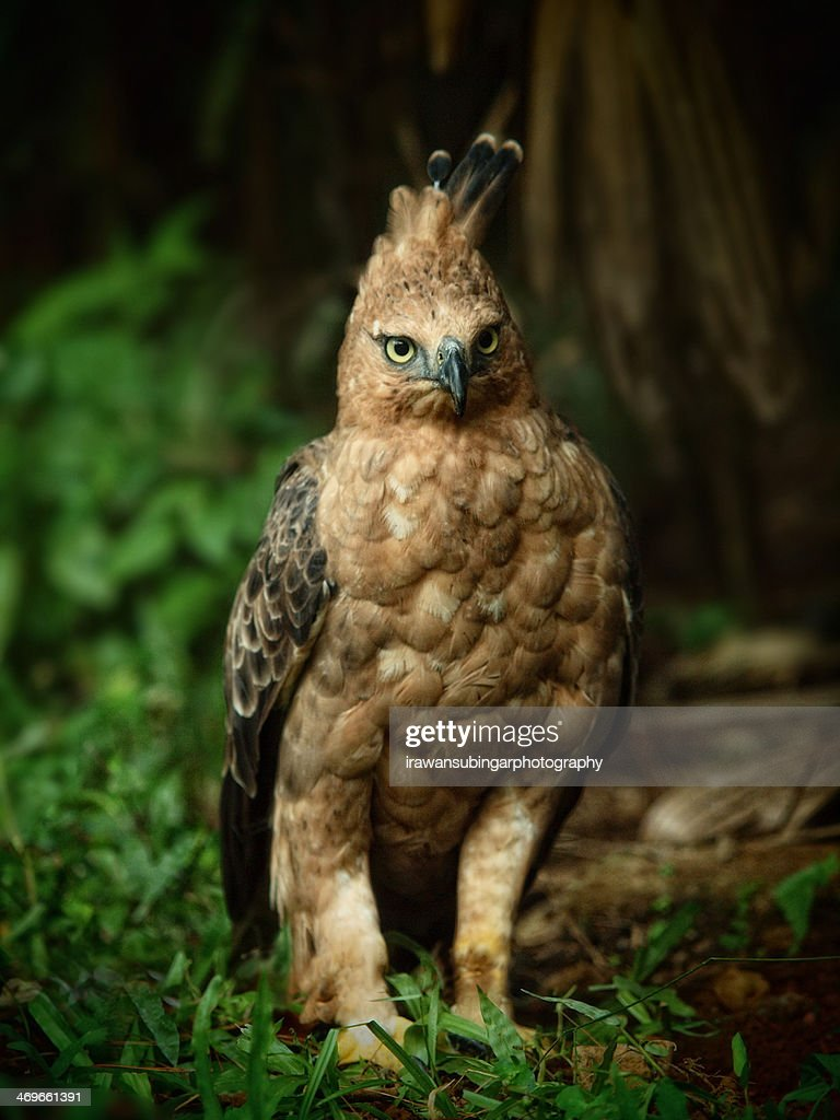 Javan Hawk Eagle (Spizaetus Bartelsi)