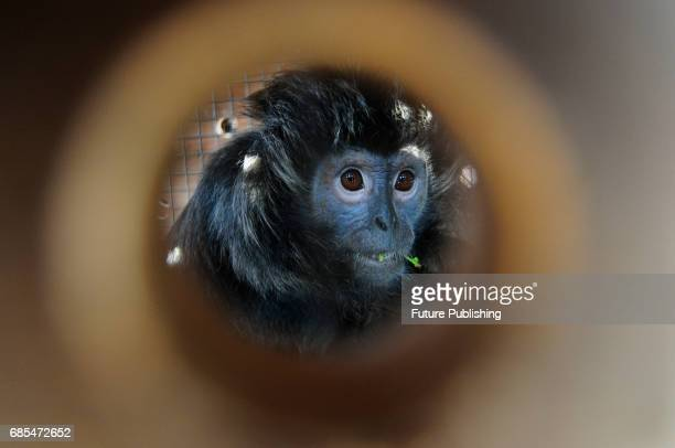 Javan Langur from England zoo seen in a temporary cage while being transferred to National Park Batu on May 19 2017 in West Java Indonesia Three...