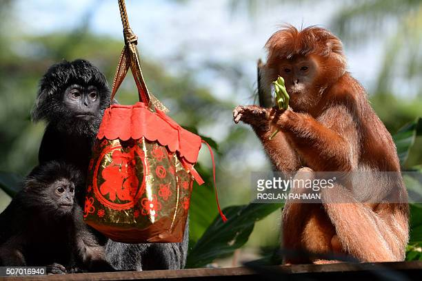 Javan langurs eat food from a festivethemed pouch ahead of the Lunar New Year of the monkey during feeding time at the Wildlife Reserves Singapore...