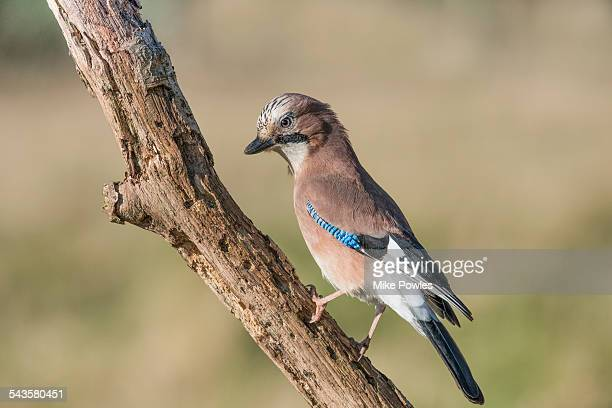 Jay perched on rotting branch