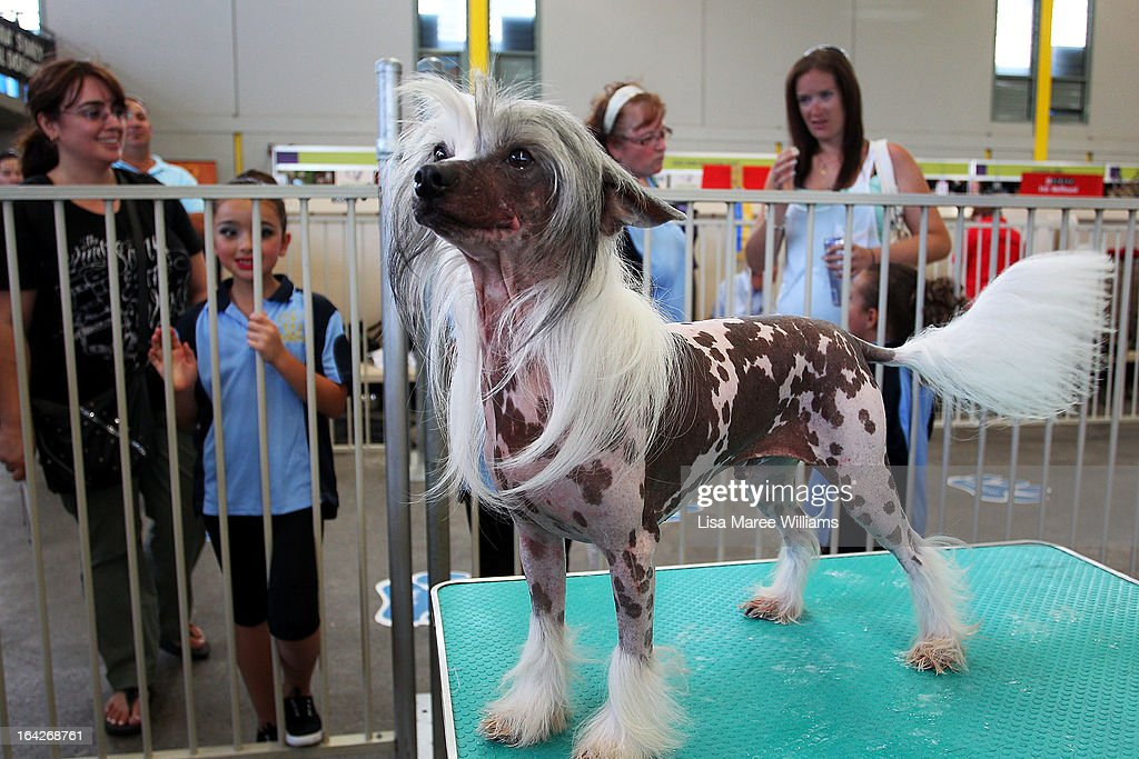 Jay prepares backstage at the Purina Sydney Royal Dog Show at the Sydney Royal Easter Show on March 22, 2013 in Sydney, Australia. Organisers are expecting over 900,000 visitors to the annual agricultural event, the largest of its kind in Australia. The Easter Show marks its 190th show since opening in Paramatta in 1823.
