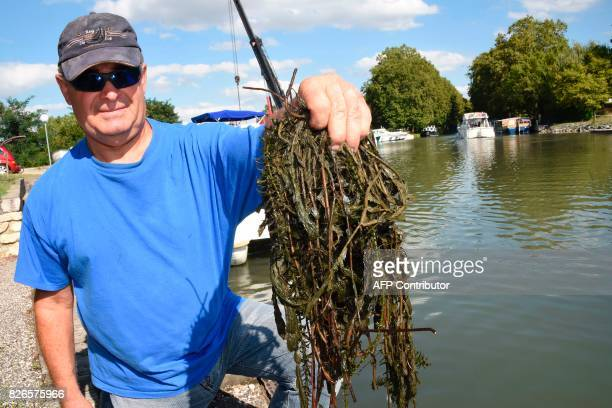 JeanPierre Szpala from the boat tour agency 'Emeraude Navigation' collects Egeria densa a largeflowered waterweed in the Canal de Garonne on August 3...
