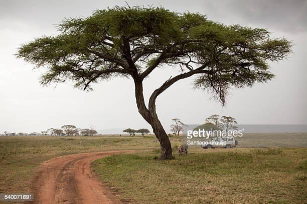 Jeep on safari under an acacia tree
