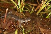 Salamandre Jefferson