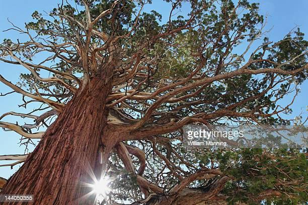 Jeffery pine, Eastern Sierra mountain range
