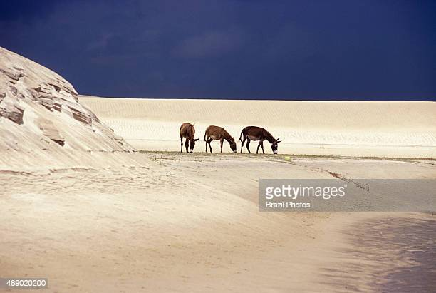 Jegue or donkey grazes on the sparse grass of sand dunes of Ceara State coastline the domestic ass used for load trasportation in Northeastern Brazil