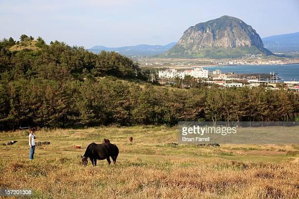 Jeju Horses
