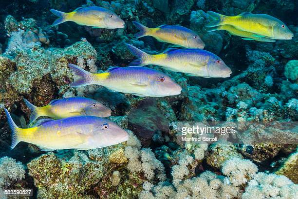 Jellow Mullet swimming close to Coral Reef
