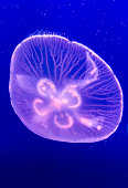 Jellyfish - floating around in front of a deep blue background