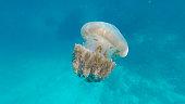 Jellyfish (Chrysaora fuscescens or Pacific sea nettle) in blue ocean water