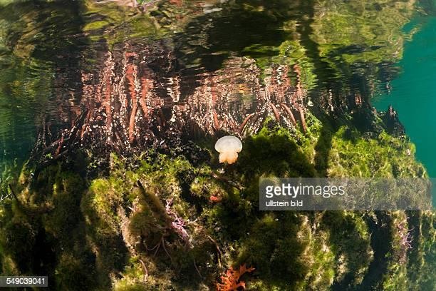 Jellyfish in Mangrove Area Mastigias papua etpisonii Jellyfish Lake Micronesia Palau