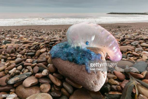 Jellyfish that have been washed up on Sidmouth beach by yesterday's exhurricane Ophelia are seen in Sidmouth on October 17 2017 in Devon England...