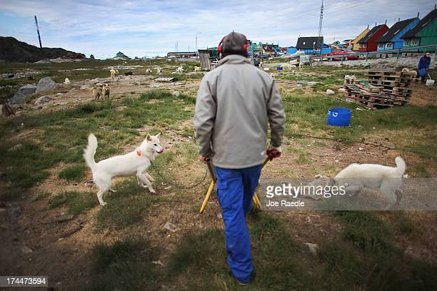 Jens Peter Olsuig feeds the families sled dogs on July 18 2013 in Ilulissat Greenland As Greenlanders adapt to the changing climate and go on with...