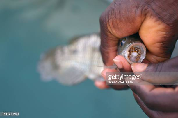 Jeremiah son of fish farmer William Kiarie inspects a mouthbrooder for eggs and fry at Green Algae Highland fish's farm on April 29 Sagana Kirinyaga...