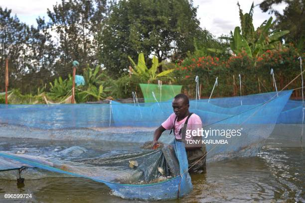 Jeremiah son of fish farmer William Kiarie rounds up Tilapia brooders to harvest eggs and fry at Green Algae Highland fish's farm on April 29 Sagana...