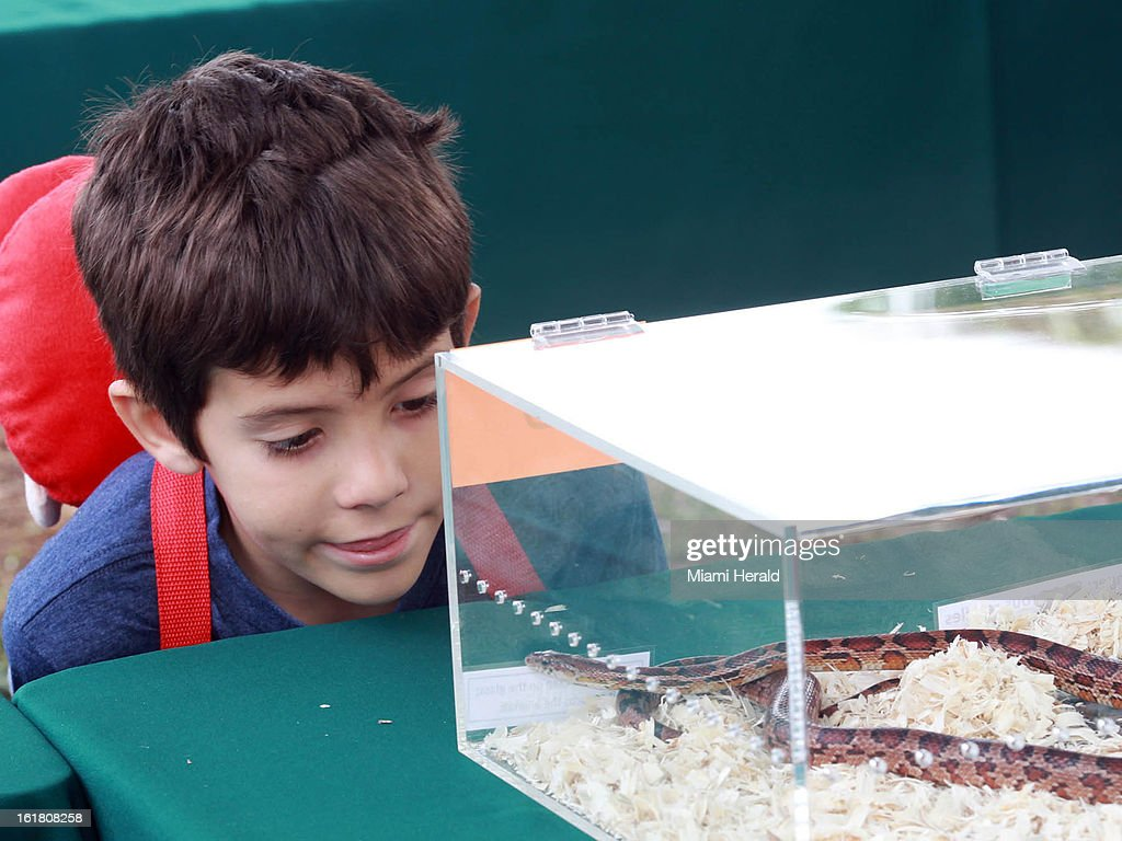 Jeremy Shanower, 8, look at a snake at the Python Ceremony held by the Florida Fish and Wildlife Conservation Commission, which sponsored the month long python bounty hunt, at Zoo Miami in Miami, Florida, Saturday, February 16, 2013.