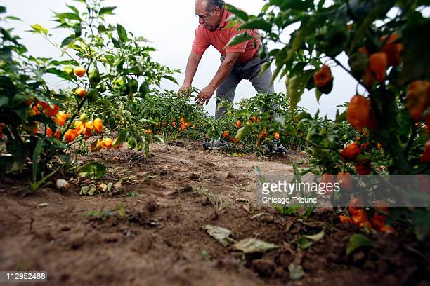 Jerry Jimenez inspects his crop of habanero peppers at his farm in Cobden Illinois on August 31 2006