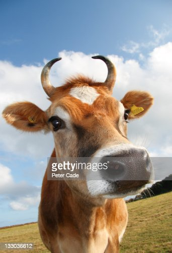 Jersey Cow : Stock Photo
