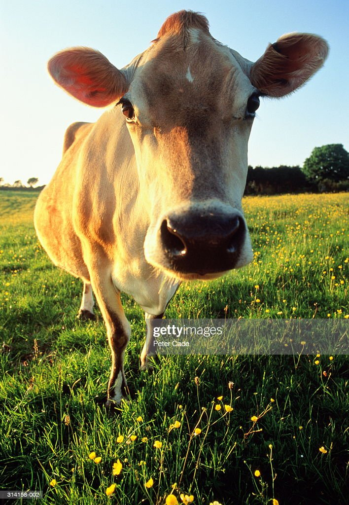 Jersey cow standing in buttercup field, close-up : Stock Photo