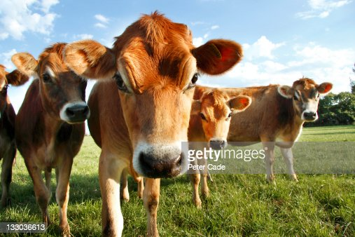 Jersey Cows : Stock Photo
