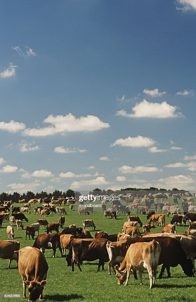 Jersey dairy cows in green pasture : Stock Photo