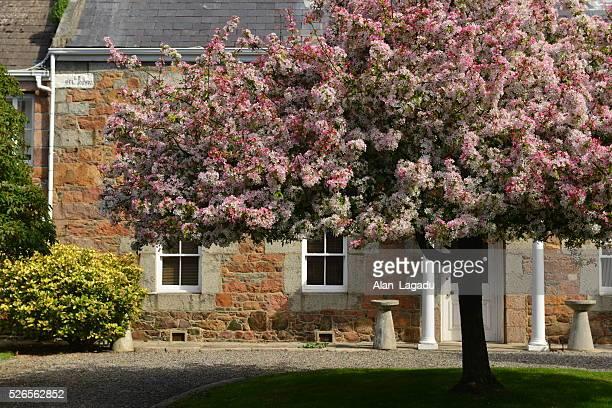 Jersey house, Malus Floribunda, U.K.