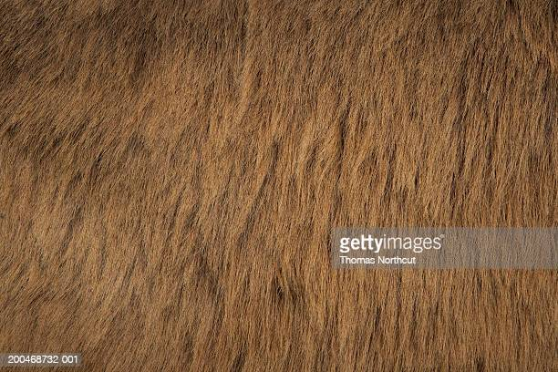 Jerusalem donkey, close-up of fur