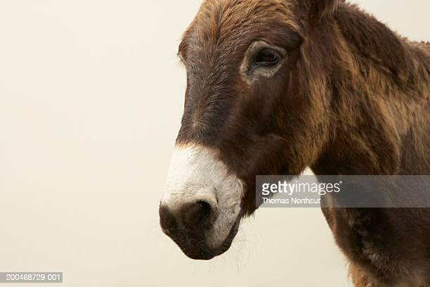 Jerusalem donkey, close-up