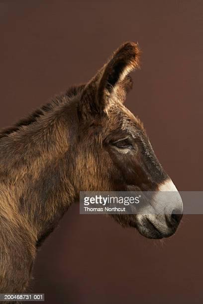 Jerusalem donkey, side view