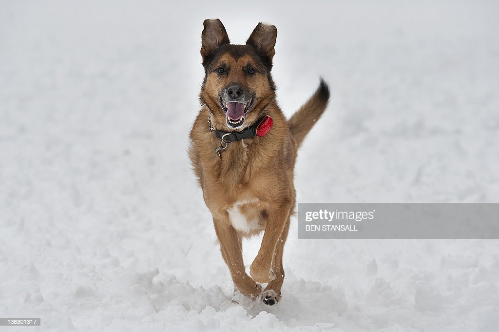 Jester the dog runs in the snow on the Sandringham estate in Norfolk on February 5, 2012.