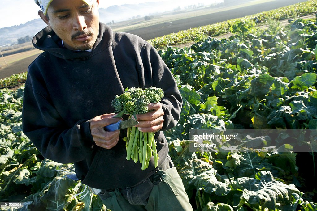 Guerrero From Mexico Harvests Organic Sweet Baby Broccoli At Lakeside Gardens In
