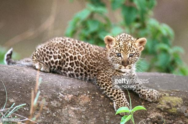 Jeune Panthere dans le Parc de Masai Mara Kenya