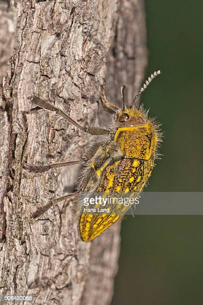 Jewel Beetle -Julodis ehrenbergii- on a tree trunk, Lake Kerkini region, Greece, Europe