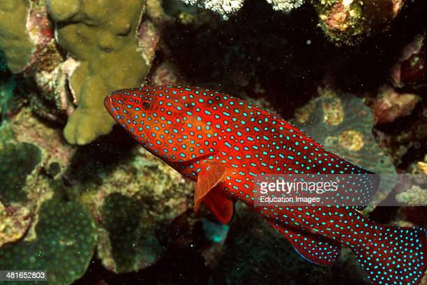 Jewel grouper Cephalopholis miniata are only about 40 cm On a bright red background the blue stain drawing is a jewel in the flashing light The...
