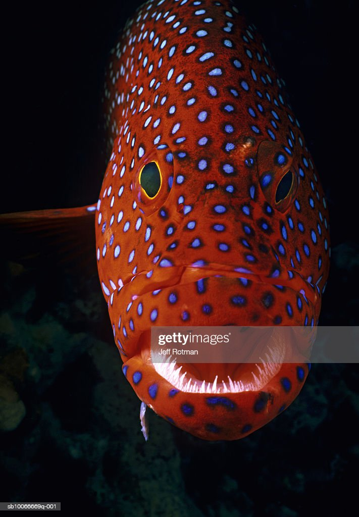 Jewel Grouper, Cephalopholis miniata : Stock Photo