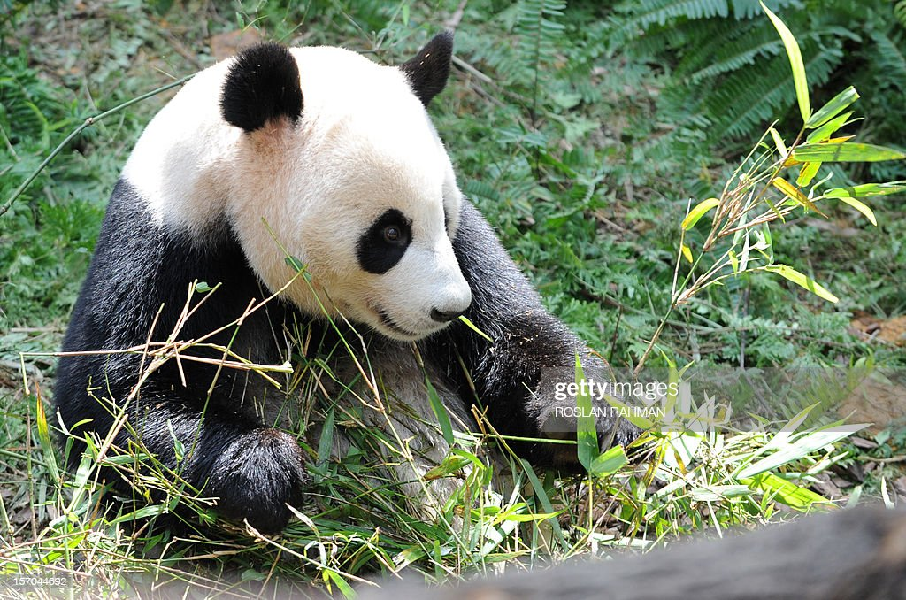 'Jia Jia', a panda from China, bites some bamboo leaves in its enclosure during the official opening at the River Safari in Singapore on November 28, 2012. Two giant pandas, aged four and five-years old and on loan from China for 10 years to the Wildlife Reserve Singapore (WRS), will make their official public appearance on November 29.