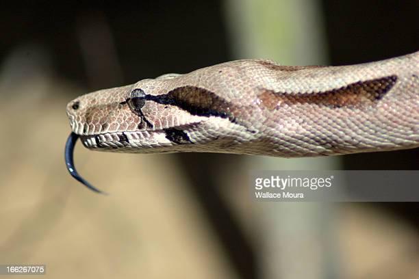 Jiboia -  (Boa constrictor)