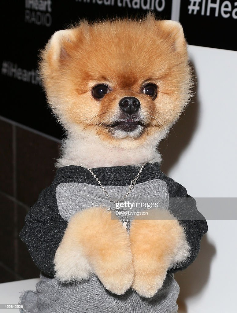 Jiff the Dog poses at the iHeartRadio Music Festival Night 2 at the MGM Grand Resort and Casino on September 20 2014 in Las Vegas Nevada