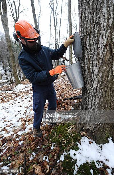 Jim Garratt of operations at the Kortright Centre shown tapping the first of 150 maple trees he will tap over the next week The centres Sugar Bush...