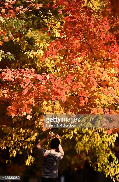 Jim Margolis takes photos of the beautiful maple trees on Mapleton Hill in Boulder Colorado on November 3 2015 A storm is expected to bring cold...