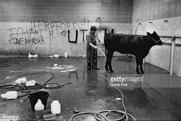Jim Mattes of Salmon Idaho gives his Angus a bath in the shower room of the Western Stock Show Complex Mattes said that all his cattle would receive...