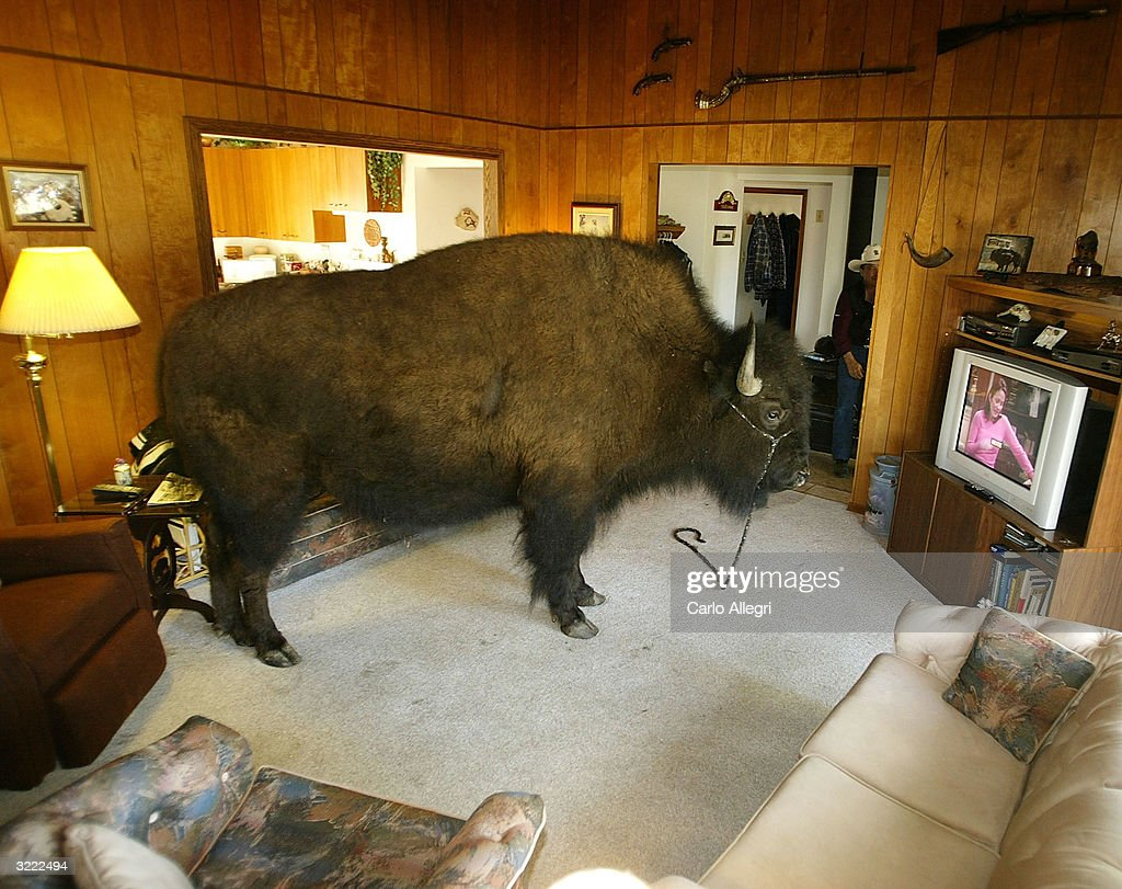 Bailey the buffalo spends time in the house getty images for Jim s dog house