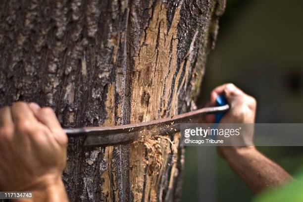 Jim Teiber checks trees for the emerald ash borer June 17 2011