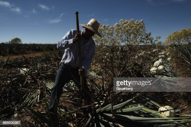 A Jimador agave field worker cuts Weber Blue agave at the Patron Spirits Co plantation in Atotonilco El Alto Jalisco Mexico on Tuesday April 4 2017...