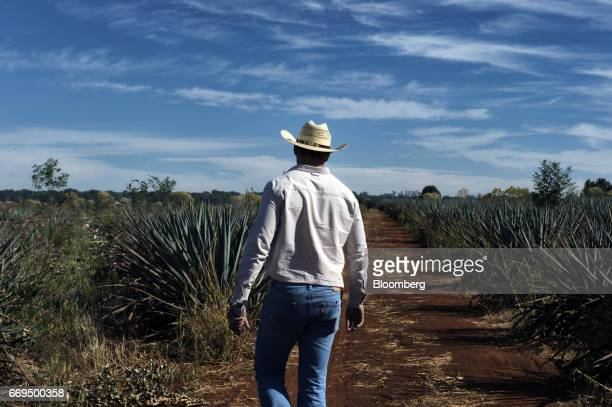 A Jimador agave field worker passes in front of Weber Blue agave plants at the Patron Spirits Co plantation in Atotonilco El Alto Jalisco Mexico on...