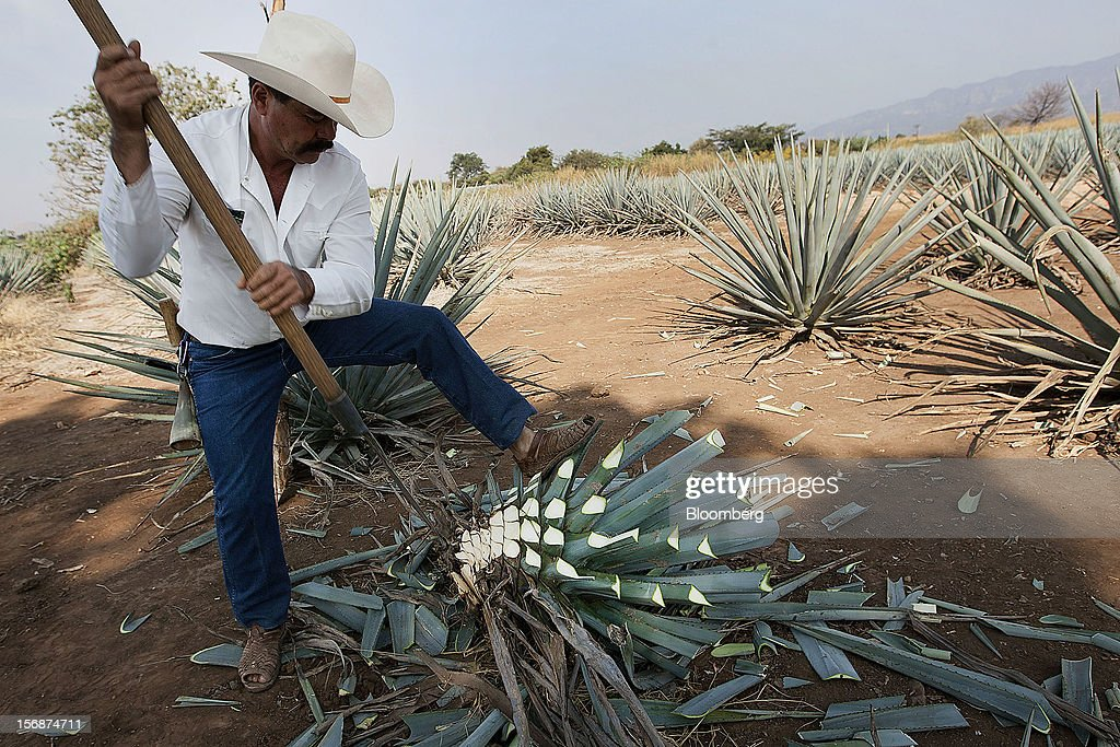 Jimador Don Ismael harvests a tequila agave plant, also known as blue agave, in a field owned by Tequila Cuervo La Rojena S.A. de C.V., maker of Jose Cuervo, in Guadalajara, Mexico, on Thursday, Nov. 22 2012. There are more than 200 types of agave in Mexico, but use of the blue agave plant was made compulsory in the last century to the issuance of the Official Mexican Standard for Tequila production. Photographer: Susana Gonzalez/Bloomberg via Getty Images