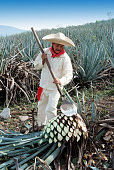 Tipical Jimador man working the field of  agave industry in Tequila, jalisco, Mexico.