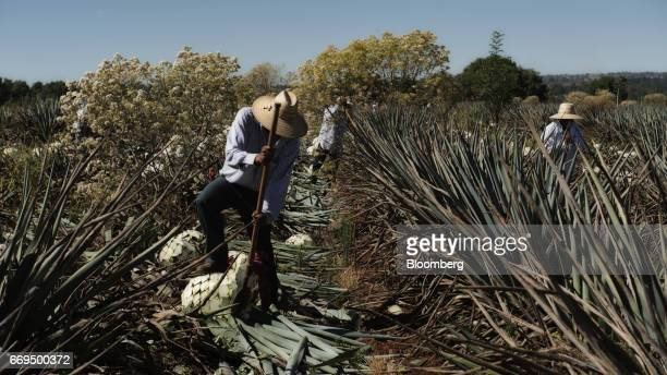 Jimadors agave field workers cut Weber Blue agave at the Patron Spirits Co plantation in Atotonilco El Alto Jalisco Mexico on Tuesday April 4 2017...