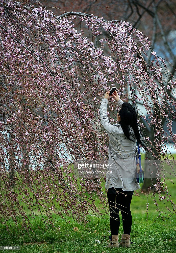 Jin Jin Lin, visiting from New York, photographs the blossoms on a Japanese Weeping Cherry along West Potomac drive. The cherry blossoms around the Tidal Basin are behind schedule on March, 31, 2013 in Washington, DC.